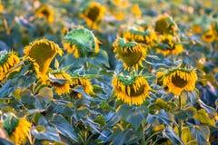 美丽的域向日葵 免版税库存图片
