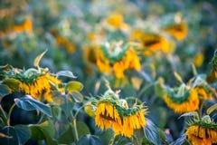 美丽的域向日葵 库存图片