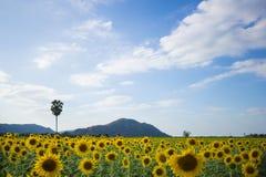美丽的域向日葵 图库摄影