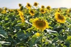 美丽的域向日葵 免版税库存照片
