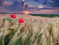 美丽的域夏天日落麦子 图库摄影