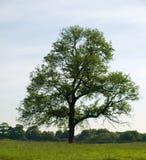 美丽的域绿色橡木老结构树 库存照片