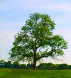 美丽的域绿色橡木老结构树 免版税图库摄影