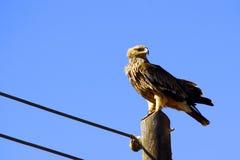 美丽的增长的东部皇家老鹰 图库摄影