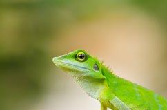 美丽的壁虎绿蜥蜴 库存照片