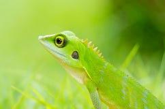 美丽的壁虎绿蜥蜴 免版税图库摄影