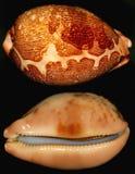 美丽的壳蜗牛 库存图片