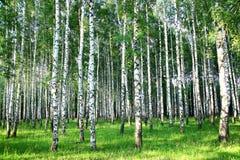 美丽的夏天桦树树丛在晚上 免版税图库摄影