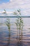 美丽的夏天湖,在前景的芦苇,在森林和天空背景  垂直的图象 图库摄影