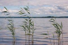 美丽的夏天湖,在前景的芦苇,在森林和天空背景  免版税图库摄影