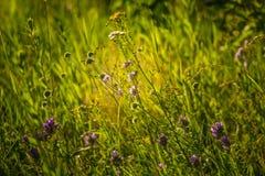 美丽的夏天草甸开花和草在盛夏节日天期间在拉脱维亚 免版税库存图片