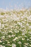 美丽的夏天草甸 免版税图库摄影