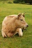 美丽的夏洛来牛母牛 免版税库存图片