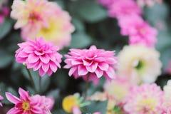 美丽的多彩多姿的大丽花花花束  库存图片