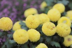 美丽的多彩多姿的大丽花花花束  向量例证