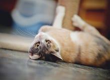 美丽的多彩多姿的猫,在地板上的谎言 免版税图库摄影
