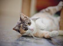 美丽的多彩多姿的猫,在地板上的谎言 图库摄影