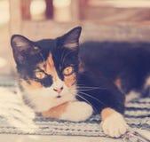 美丽的多彩多姿的猫 库存照片