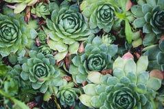 美丽的多汁植物顶视图在庭院的 库存图片