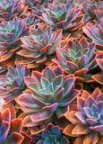 美丽的多汁植物, echeveria多汁植物 免版税图库摄影