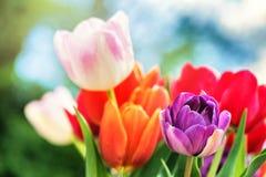 美丽的多色郁金香花束  背景蓝色云彩调遣草绿色本质天空空白小束 免版税库存照片