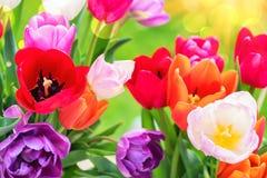 美丽的多色郁金香花束  库存图片