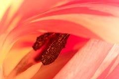 美丽的多色郁金香 免版税库存照片