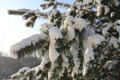 美丽的多雪的杉木在冬天分支在阳光下 库存照片