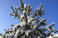 美丽的多雪的杉木在冬天分支在阳光下 库存图片