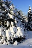 美丽的多雪的杉木在冬天分支在阳光下 免版税库存照片