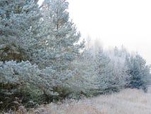 美丽的多雪的树在冬天,立陶宛 免版税图库摄影