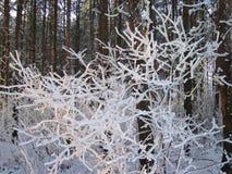 美丽的多雪的树在冬天,立陶宛 库存照片
