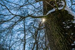 美丽的多雪的树在冬天 免版税库存图片