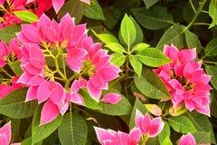 美丽的大戟属Pulcherrima桃红色叶子从事园艺 免版税图库摄影