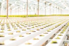 美丽的大明亮的温室 很多莴苣幼木 免版税库存图片