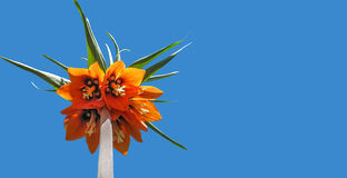 美丽的大桔子开花在蓝色sk的背景的百合 免版税库存照片