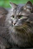 美丽的大猫注视绿色灰色 免版税库存照片