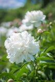 美丽的大白色牡丹 库存图片