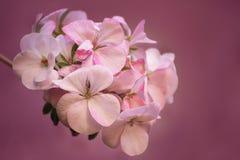 美丽的大竺葵,天竺葵 被定调子的照片 有选择性 免版税图库摄影