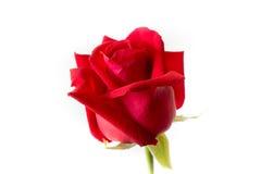 美丽的大红色玫瑰被隔绝的白色背景 免版税库存图片
