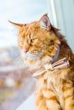 美丽的大红色缅因树狸猫佩带的蝴蝶领带和坐在窗口附近 库存照片