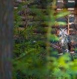 美丽的大老鹰猫头鹰画象 库存照片