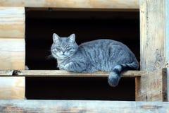 美丽的大蓬松灰色镶边自创猫坐一个木木屋的窗口开头的背景建设中 免版税图库摄影