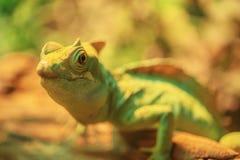 美丽的大鬣鳞蜥 库存图片