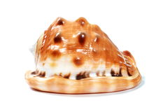 美丽的大贝壳 免版税库存照片
