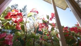 美丽的天竺葵花在夏天 射击通过窗口 股票视频