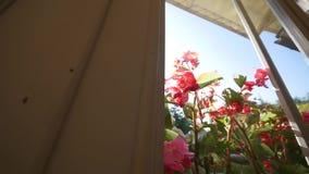 美丽的天竺葵花在夏天 射击通过窗口 影视素材