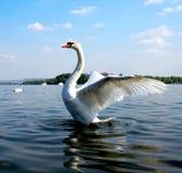 美丽的天鹅在河 库存照片