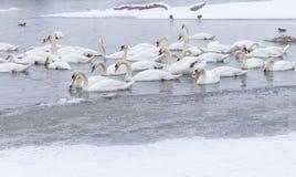 美丽的天鹅在冻河多瑙河 免版税库存照片