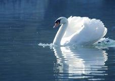 美丽的天鹅 库存图片